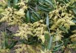 Mango-Flowers-400×280