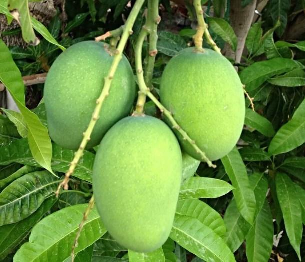 Raw-mangoes