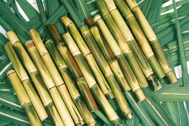 Cut pieces of Sugar Cane