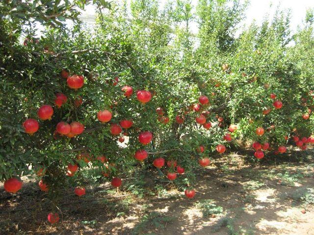 Ripe pomegranate fruit on tree