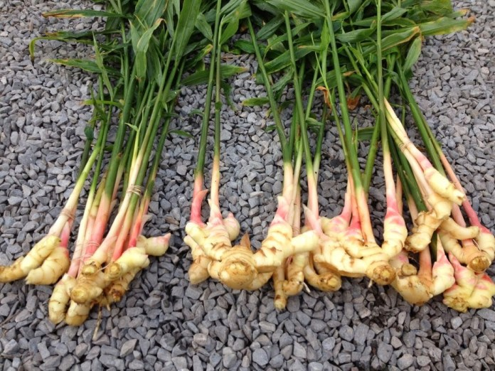 Unripe roots of ginger