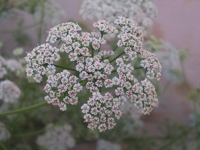 Ajowan-flowers