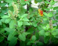 Holy-Basil-plant