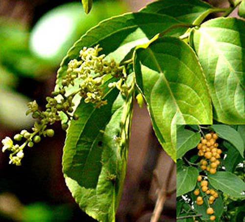Malkangni tree with seeds and flowers
