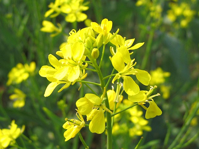 Flower-of-Indian-Mustard