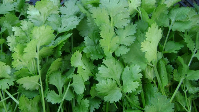 Coriander-leaves