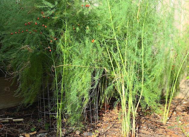 Growing Asparagus in bush