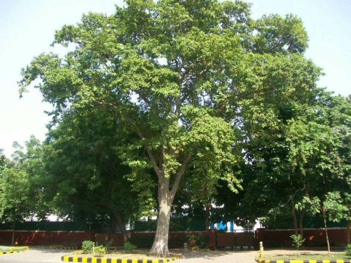 Health-benefits-of-Arjuna-tree