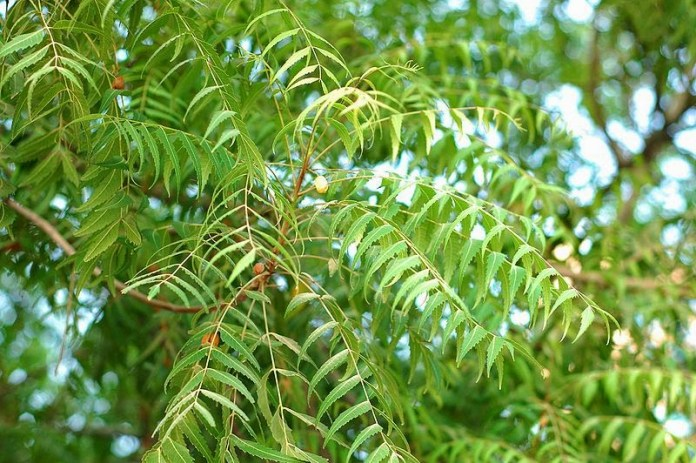 Health-benefits-of-neem-tree