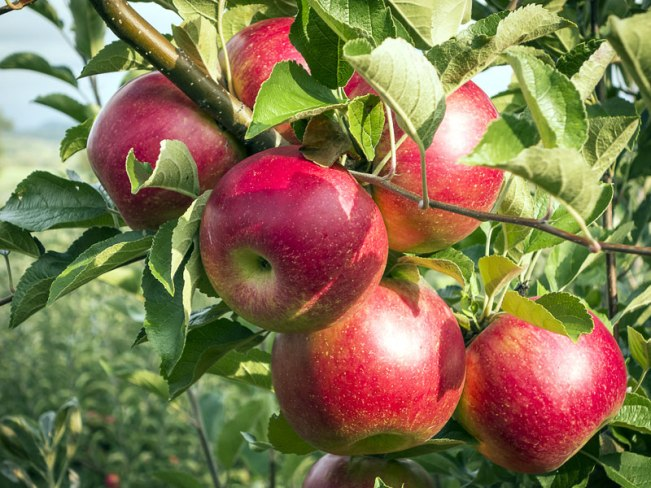 Apple fruit for blood purification