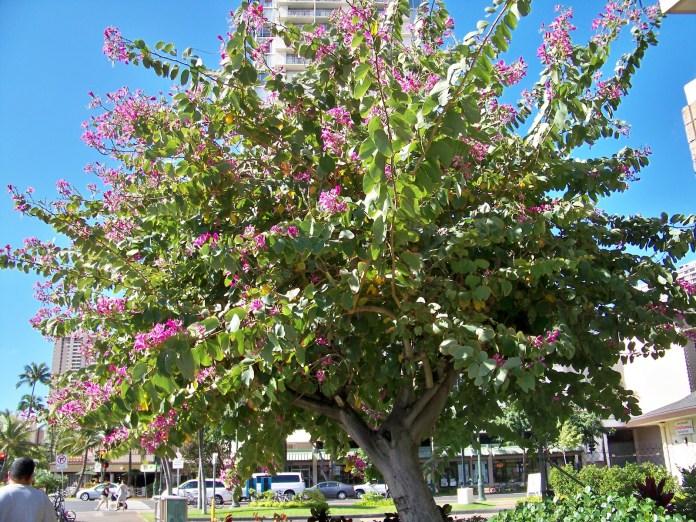 Medicinal tree of Bauhinia
