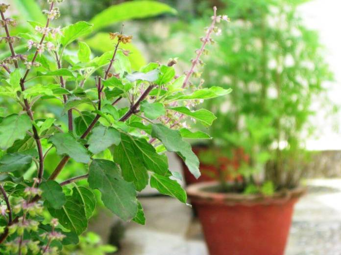 Holy Tulsi leaves