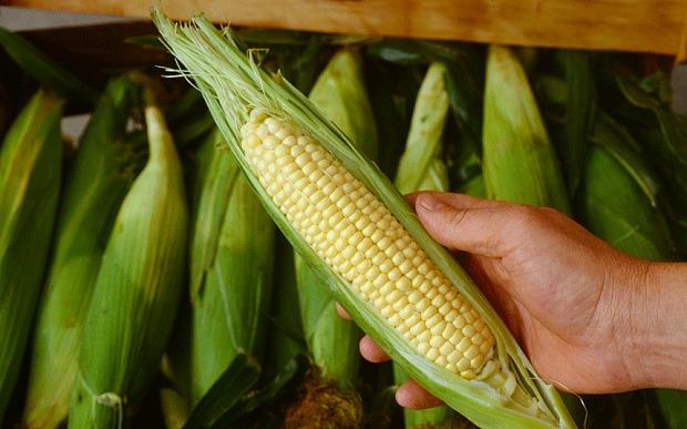 Corn in Ayurvedic food