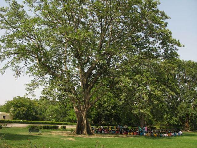 Baheda tree