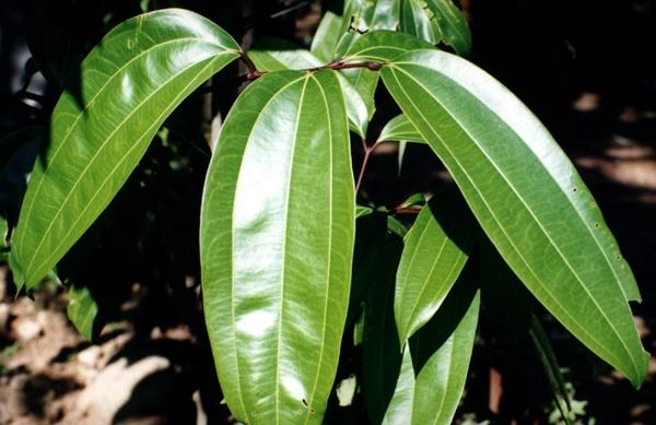 leaves of Anantmool Hemidesmus
