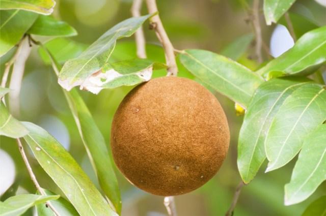 Chaulmoogra fruit