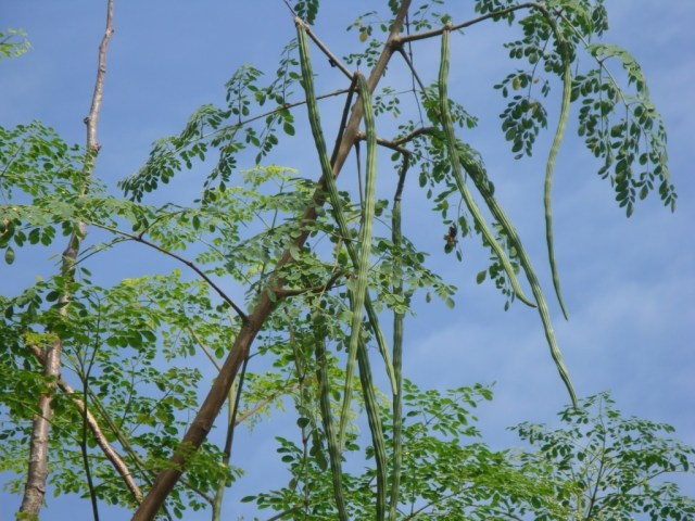 drumstick tree with fruits