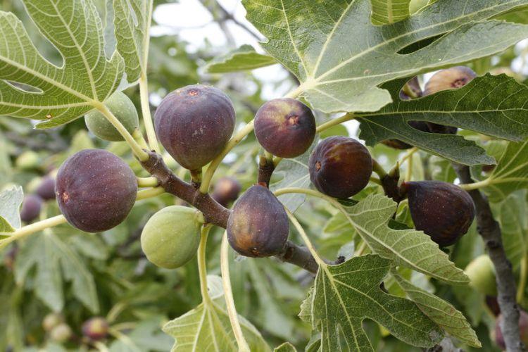 growing fig on tree