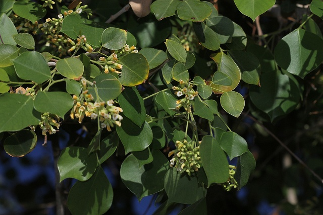 5 Medicinal Benefits Of Sheesham Tree You Must Know About