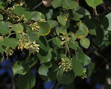 sheesham leaves