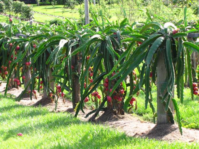 dragon fruit benefits, health benefits of dragon fruit, benefits of dragon fruit, dragon fruit, dragon fruit in hindi, Pitaya