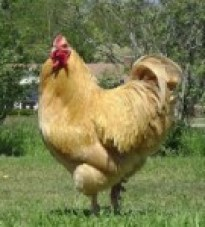 Buff Orpington Rooster