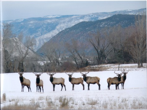 A group of 7 mature bull elk face the camera in winter snow with mountain backdrop