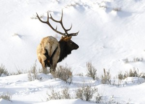 a bull elk feeding in the snows of late winter somewhere in the rocky mountain west