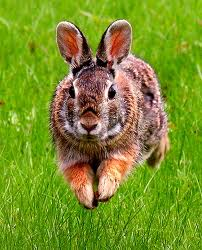Close-up Photo of Cottontail Rabbit Running