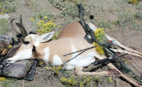 Buck antelope taken with Compound Bow