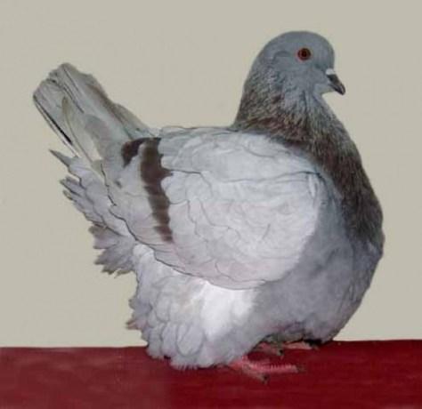 french mondain(mealie) utility squabbing pigeon