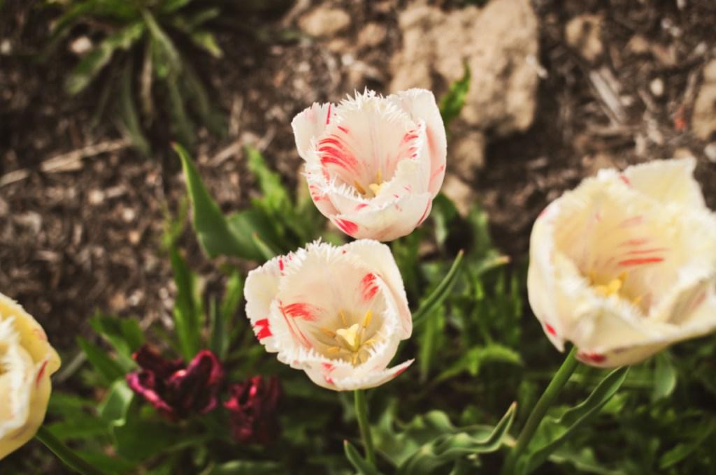 Tulipani Wander and pick Scandicci