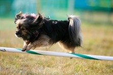 Dog Agility Jump Photo