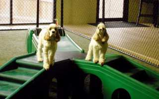 two white cocker spaniels on green play steps at doggie daycare Club Pooche in Columbia Maryland