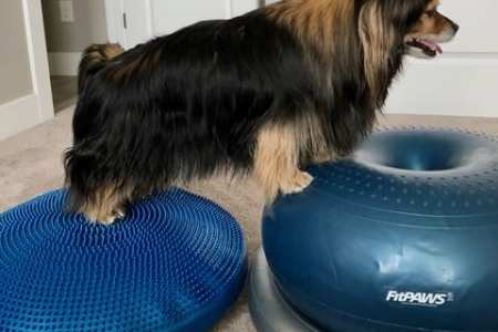 small dog exercising on FitPAWS disc and FitPAWS donut