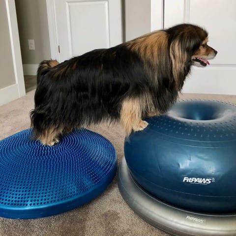 dog on fitpaws rehabilitation equipment