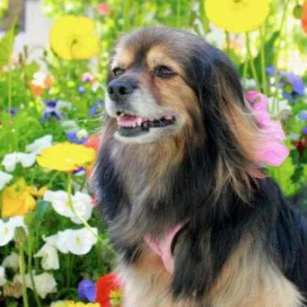 beautiful small long haired dog wearing big pink bow in front of a a field of yellow, pink and white flowers