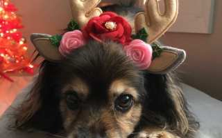 cute dog wearing reindeer antlers photo