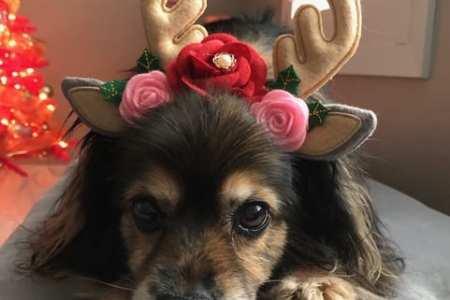 cute dog wearing reindeer antlers photo