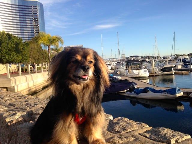 beautiful small dog sitting at marina in San Diego