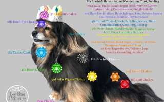 Beautiful Tibetan Spaniel dog wearing a crown displaying the canine chakras