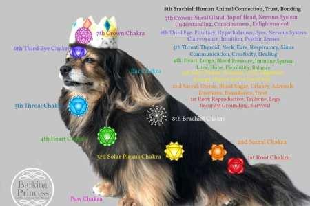 Beautiful Tibetan Spaniel dog wearing a crown displaying the canine chakras