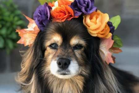 beautiful long haired dog wearing silk flower crown
