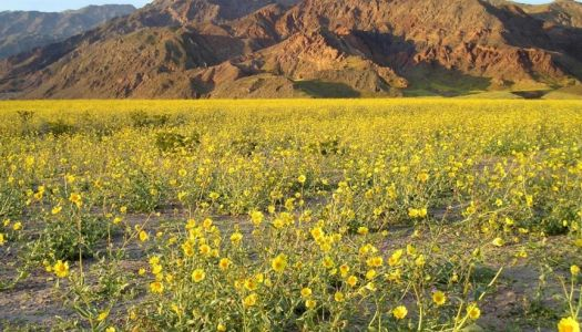 Head to Death Valley for the 'Super Bloom'