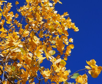 Aspen gold against an azure backdrop