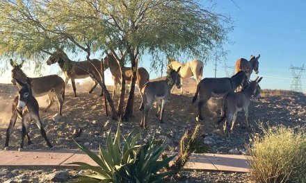 BLM to gather wild burros in the Bullhead City area