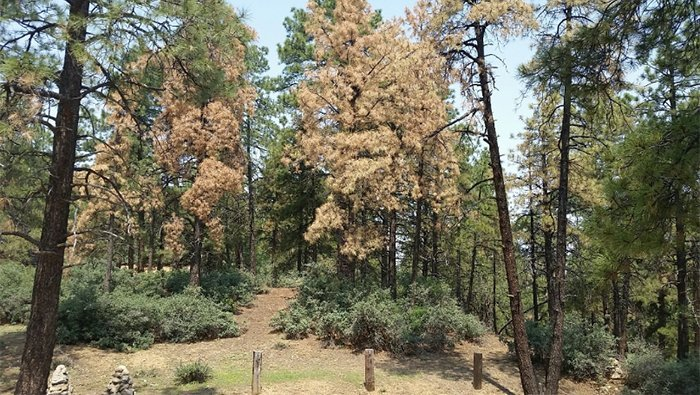Hualapai Mountain Park Impacted By Western Bark Beetles