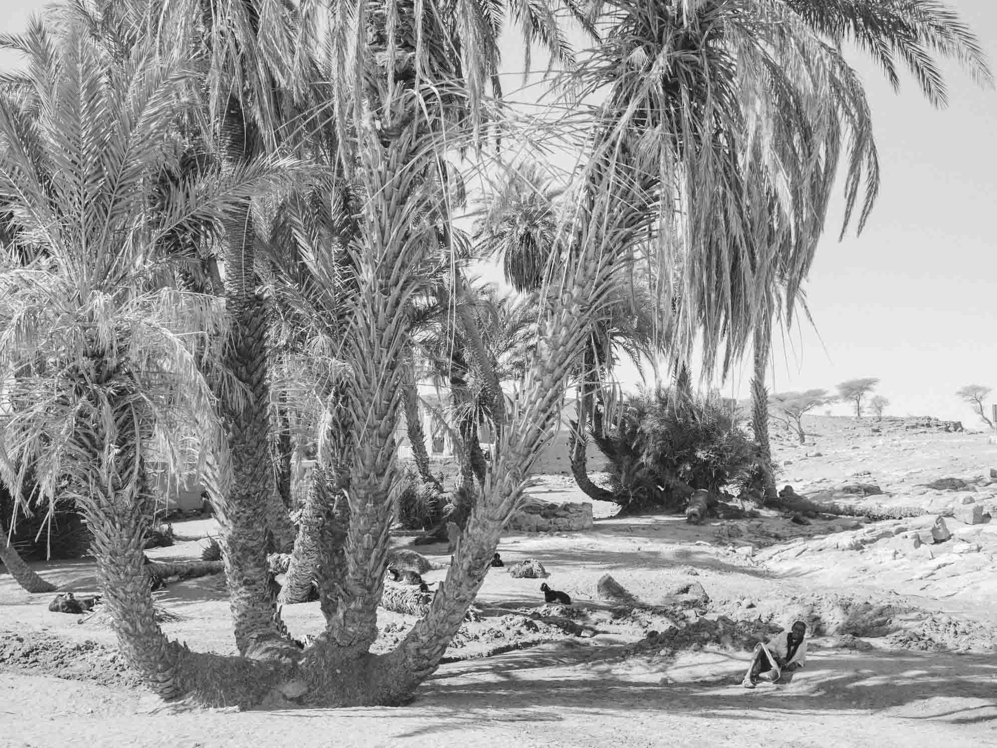 Traditional Berber Shepherd with Goats Taking Shade Under Palm Trees at Desert Camp Morocco