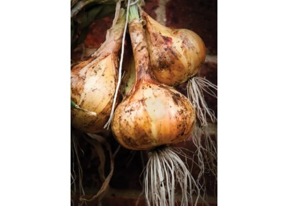 The History of Bermuda Onions