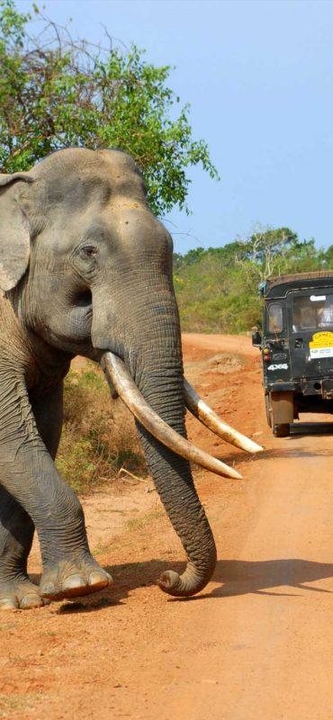 Elephant-Yala-National-Park-Sri-Lanka-Surf-Travel-3